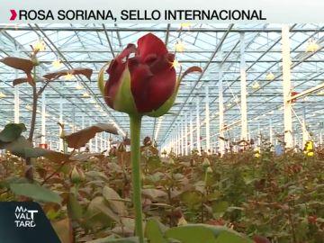 Vivero Rosa Soriana, el más grande de Europa
