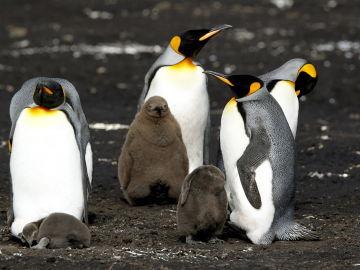 Vista de un grupo de pingüinos Rey