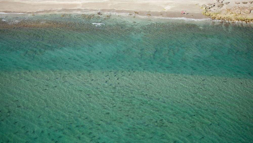 Los tiburones migratorios en el Parque MacArthur de las Islas Singer, de la Florida (EE.UU.)