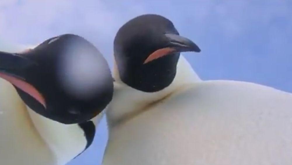 Dos pingüinos se hacen un 'selfie' involuntario
