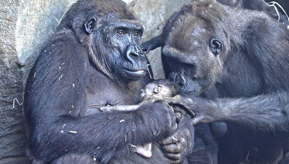 c2b5e9d418ae Nace en Bioparc Valencia el cuarto gorila occidental de costa que se ...