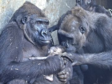 La cría de gorila recién nacida