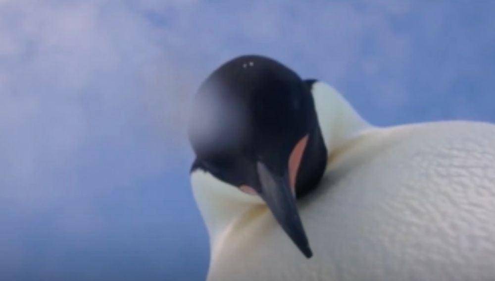 Uno de los dos pingüinos ajustando la cámara