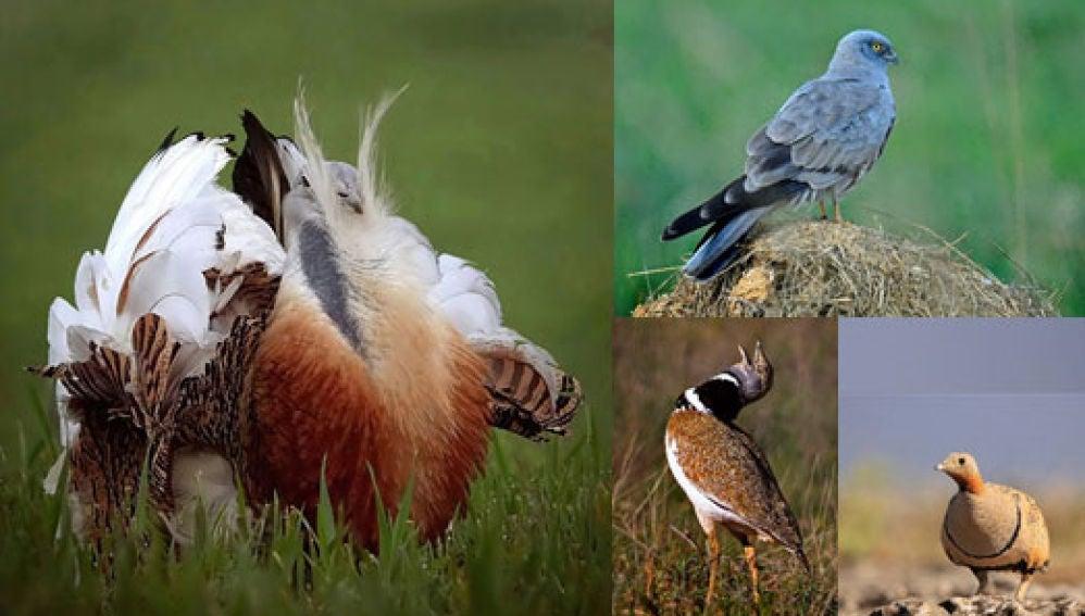 Las aves se extinguen a pesar de las politicas europeas de conservacion