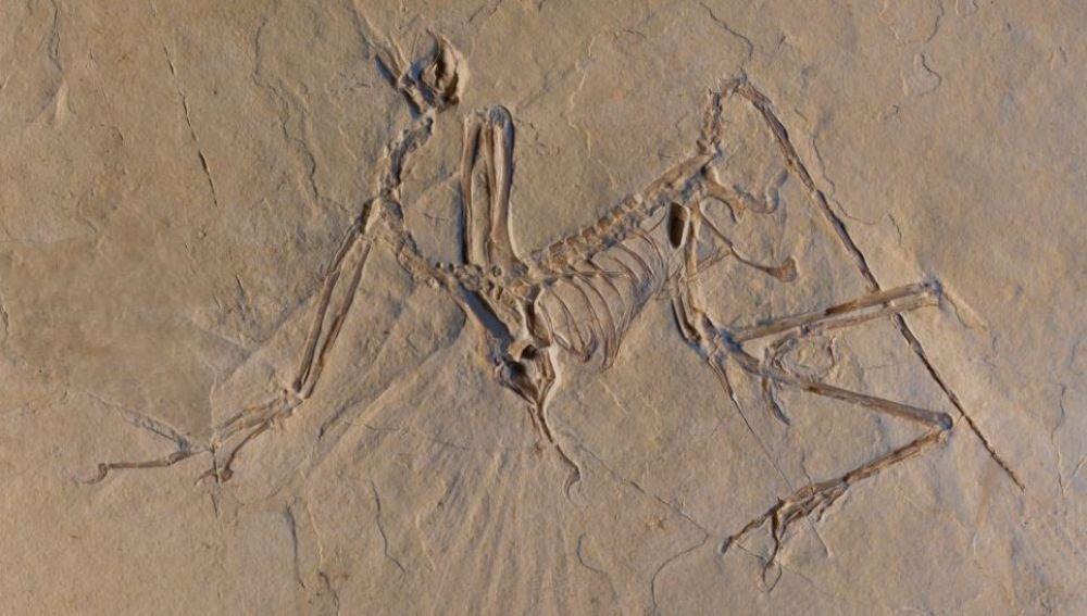 El pajaro jurasico arqueopterix batia sus alas para volar