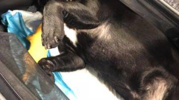 Un perro muere asfixiado en un avión al tener que viajar en el compartimento superior de la cabina