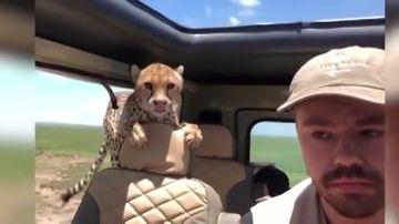 Un turista graba cómo un guepardo se cuela sen su   coche en pleno safari