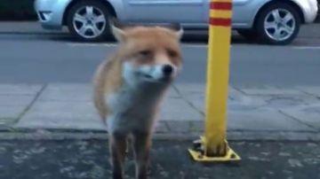 El rey de los ladrones es un zorro que ha robado el corazón a Internet... y algo más