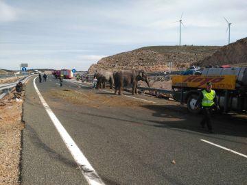 Un camión cargado de elefantes vuelca en la A-30 en Albacete