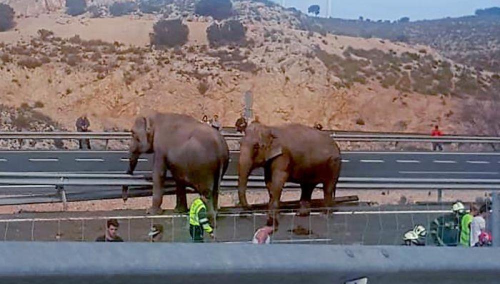 no de los elefantes que viajaban en el camión que ha volcado en la A-30