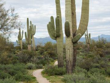 Imagen de un cactu saguardo en el desierto de Arizona