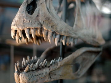 Cada dinosaurio carnivoro tenia sus bocados favoritos