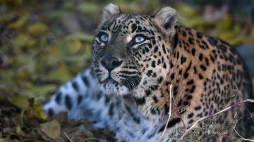 Imagen de archivo de un ejemplar de leopardo