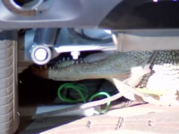 El susto de una familia en EEUU: encuentran un enorme cocodrilo escondido debajo del coche