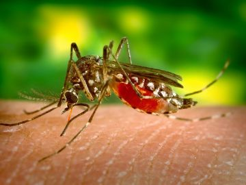 Los mosquitos se alimentan de las proteínas de nuestra sangre
