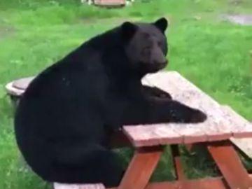 Un oso se sienta a 'merendar' en un parque de Alaska