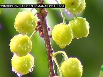 Las consecuencias de tres semanas de lluvia: embalses llenos pero temporada desastrosa para la fruta de verano