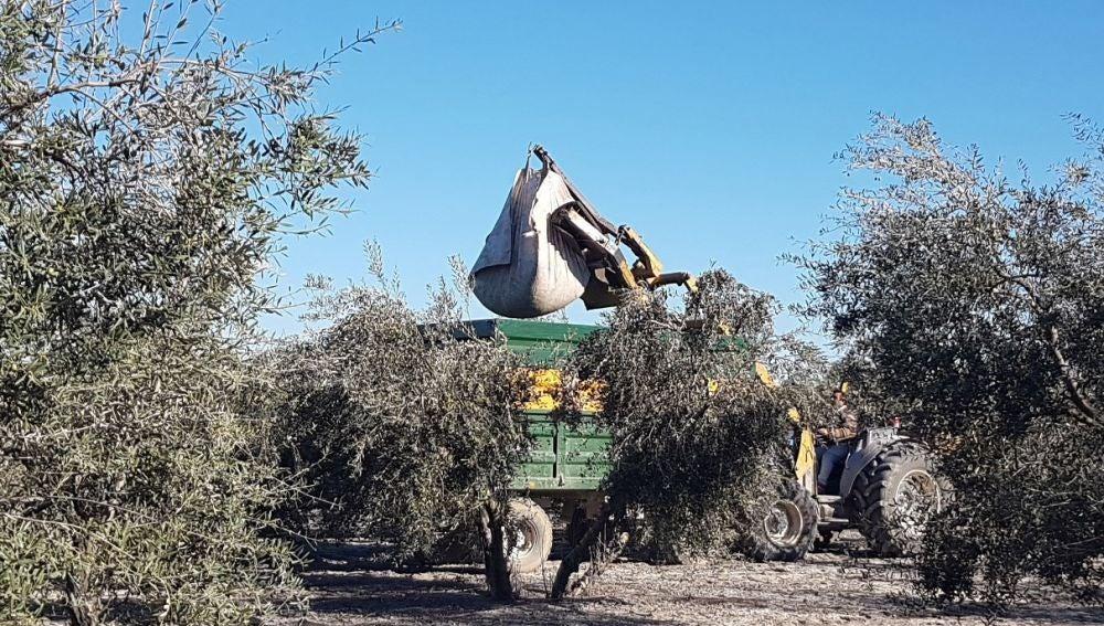 Trabajos de recogida de la aceituna en la localidad sevillana de Arahal (Archivo)