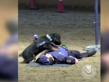 Un perro policía, preparado para realizar la maniobra de reanimación cardiopulmonar
