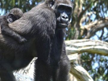 Mbeli, una bebé gorila de 11 meses nacida en BIOPARC