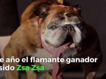 El concurso de perros más feos del mundo: el ganador ha sido Zsa Zsa, un bulldog inglés