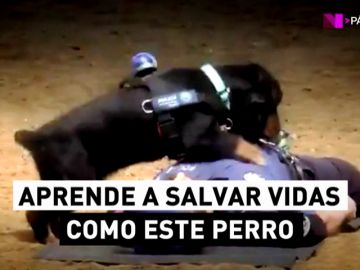 El perro que sabe hacer una reanimación cardiopulmonar (RCP): ¿sabes tú?