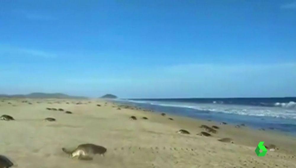 Temporada de anidación de tortugas marinas en la costa de Oaxaca, México