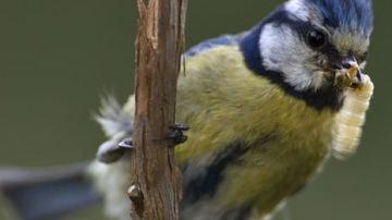 El aumento de temperatura reduce los parasitos en los nidos de herrerillo