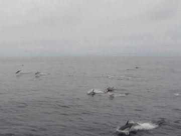 Algunos de los delfines avistados atravesando las Rías Baixas de Galicia