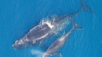 La ballena franca y la gris habitaban el Mediterraneo en la epoca romana