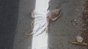 Encuentran a un pulpo aplastado en una carretera y con la línea continua pintada sobre él