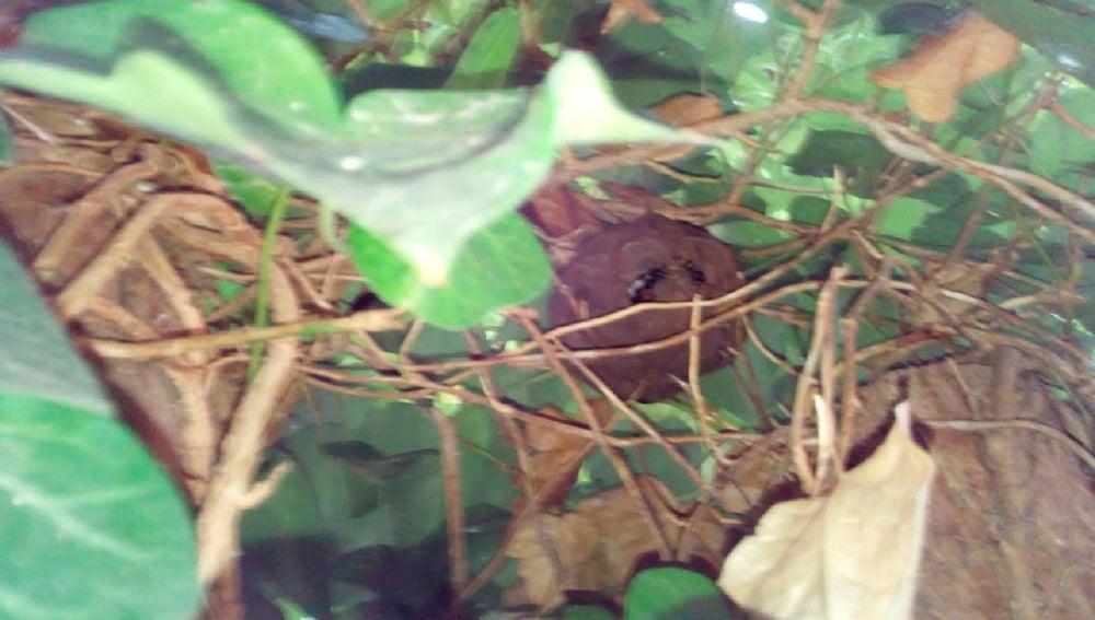 Imagen del nido de avispa 'asesina' asiática