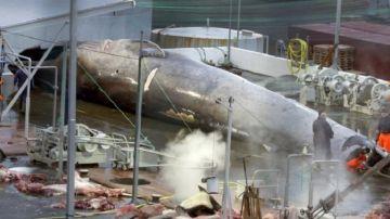Imagen de la ballena azul asesinada en Islandia
