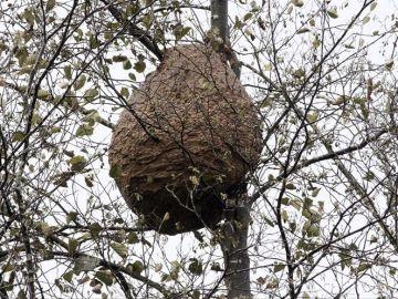 Un enjambre de avispas en Galicia