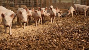 Detectados mas de 400 genes de resistencia a antibioticos en granjas europeas