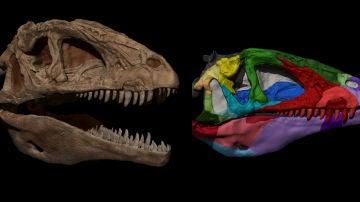 Izquierda, reconstrucción del cráneo de un dinosaurio carnívoro; derecha cráneo digitalizado en 3D del mismo dinosaurio.