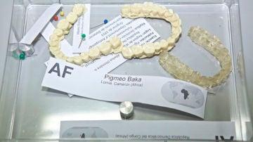 Los dientes de los pigmeos tienen un tamano similar al de los hominidos