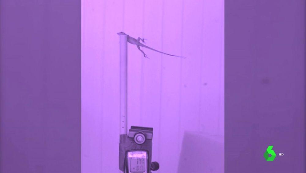 En la imagen una lagartija realizando el experimento