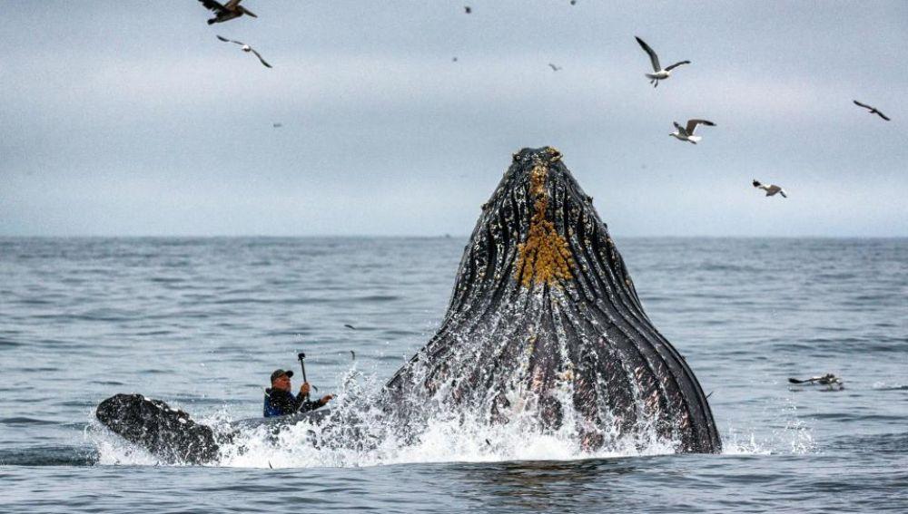La ballena emerge delante del kayak
