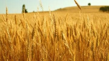 La UE puede danar a su sector agronomico al equiparar CRISPR con los transgenicos