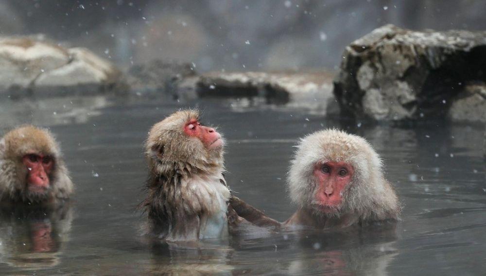 Imagen de archivo de macacos japoneses.