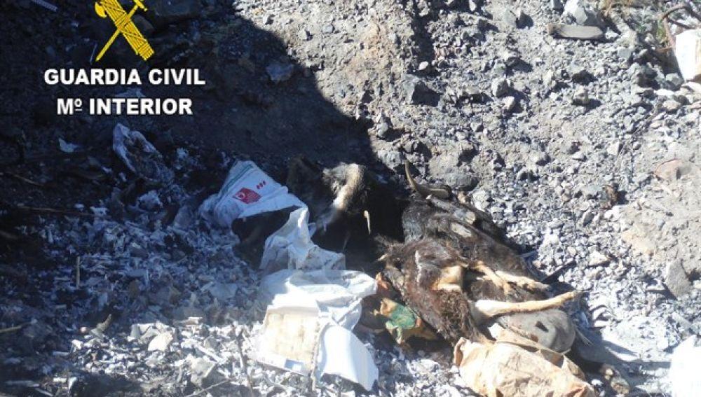 Varios cadáveres de animales (ganado caprino) arrojados a una zanja