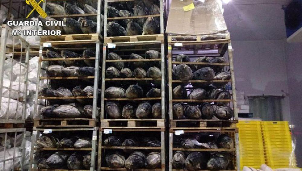 Imagen de los atunes incautados por la Guardia Civil