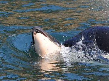 Imagen de la orca que arrastró a su cría muerta durante 17 días en aguas del Pacífico
