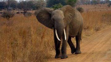 Un gen zombi protege a los elefantes contra el cancer