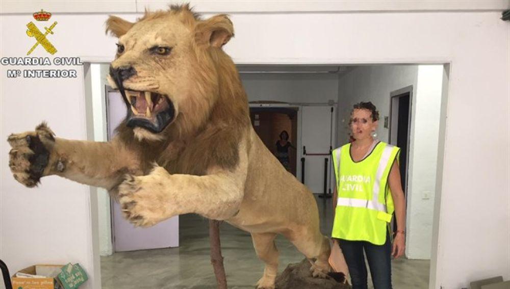 León disecado encontrado por la Guardia Civil en Castelldefels