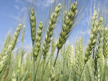 Cultivos de trigo en el municipio de San Pedro, cercano a Santa Cruz