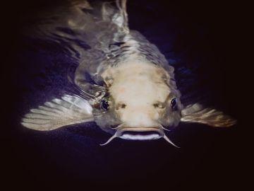 Un pez siluro