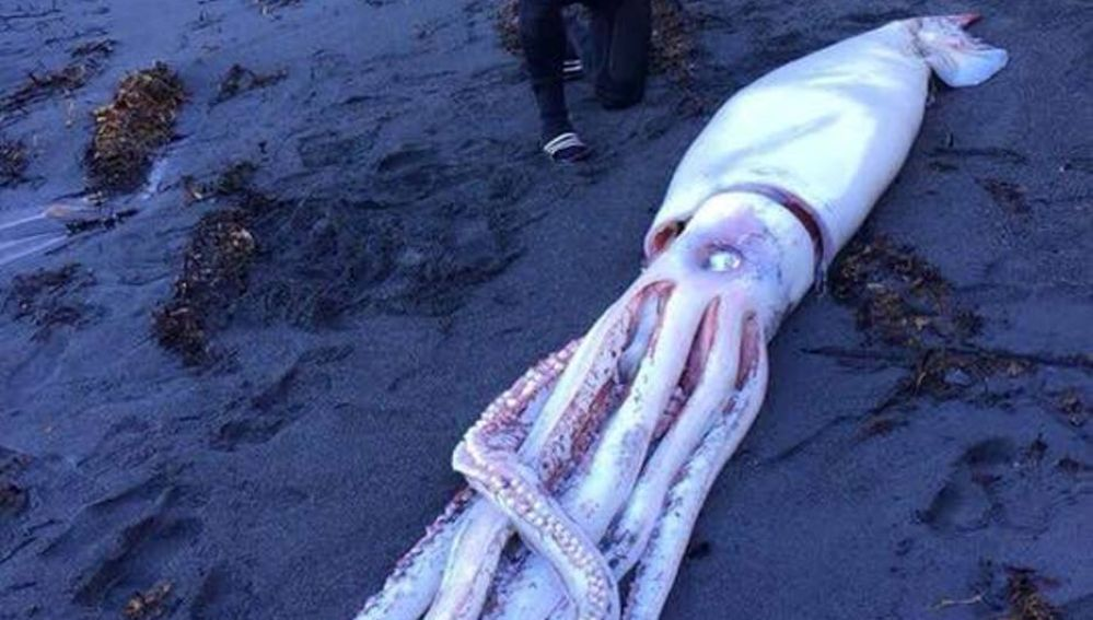Calamar gigante encontrado en Nueva Zelanda