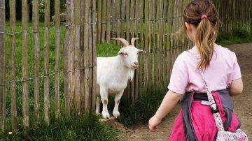 Una niña acercándose a una cabra